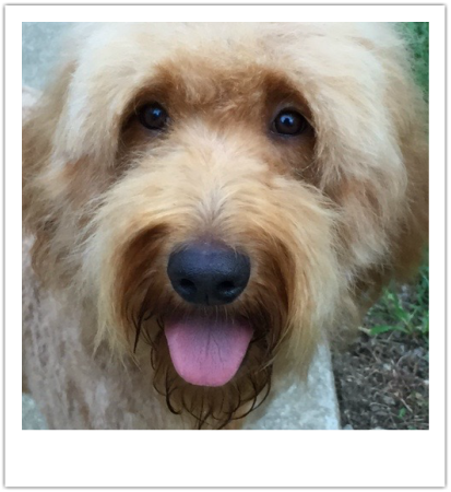 Exclusively Golden Doodle Puppies Nashville Tn About