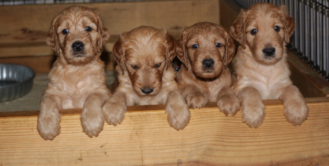 Elite Goldendoodle Puppies For Sale In Nashville Tn Home